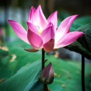 indonesia | lotus flower